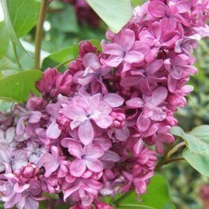Syringa vulgaris 'Prince Wolkonsky' – Bíborvörös orgona