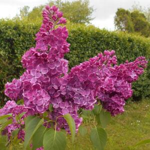 Syringa vulgaris 'Znamya Lenina' – Sötétlila virágú orgona