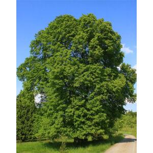 Tilia platyphyllos - Nagylevelű hárs (extra méretű koros)