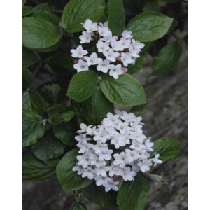 Viburnum burkwoodii 'Anne Russel' – Illatos tavaszi bangita (édesen illatos)
