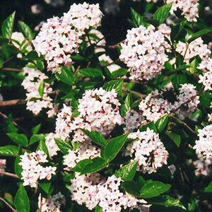 Viburnum X burkwoodii 'Mohawk' - Tavaszi bangita