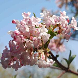 Viburnum farreri – Korai bangita