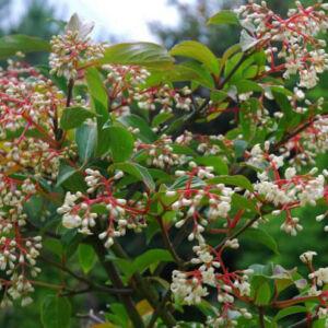 Viburnum hillieri 'Winton' – Illatos télizöld bangita