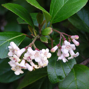 Viburnum odoratissimum – Korallbangita