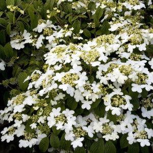 Viburnum plicatum 'Summer Snowflake' – Redős levelű bangita