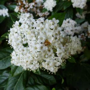 Viburnum tinus 'Eve Price' – Örökzöld bangita