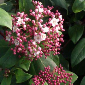 Viburnum tinus 'Gwenllian' – Téli bangita