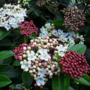 Viburnum tinus 'Quimper' – Örökzöld bangita