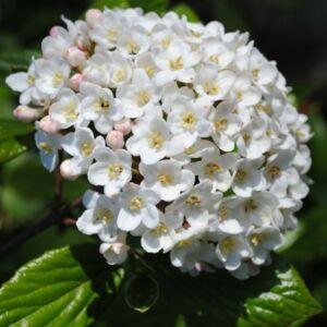 Viburnum x carlcephalum – Illatos bangita