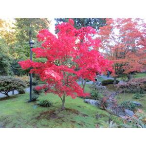 Acer palmatum 'Osakazuki' - Japán juhar