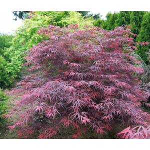 Acer palmatum 'Tamuke Yama' - Csüngő japán juhar
