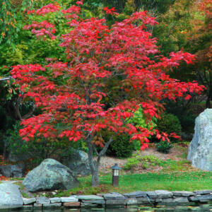 Acer japonicum 'Aconitifolium' – Vörösvirágú juhar