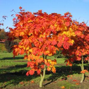 Acer japonicum 'Vitifolium' – Telihold juhar (extra méretű koros)