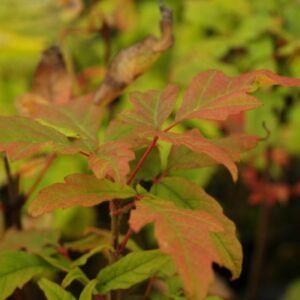 Acer maximowiczianum (syn. Acer nikoense) – Nikkói juhar