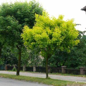Acer negundo 'Auratum' – Zöld juhar