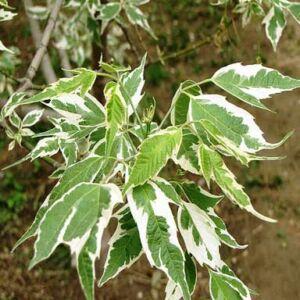 Acer negundo 'Aureomarginatum' – Zöld juhar