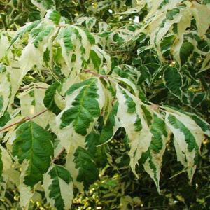 Acer negundo 'Variegatum' – Tarkalevelű zöld juhar