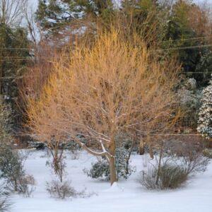 Acer negundo 'Winter Lightening' – Zöld juhar