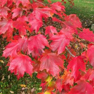 Acer rubrum 'Autumn Radiance' – Vörös juhar
