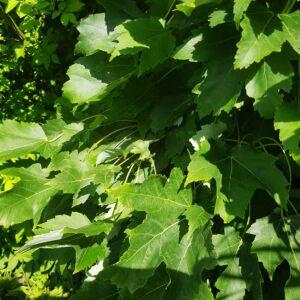 Acer rubrum 'Green Pillar' – Vörös juhar