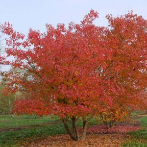 Acer tataricum subsp. ginnala – Tűzvörös juhar