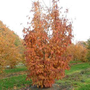 Acer truncatum 'Shune-nishiki' – Juhar