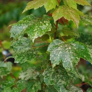 Acer rubrum 'Candice Ice' – Vörös juhar