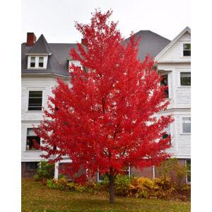 Acer rubrum 'Sun Valley' – Vörös juhar