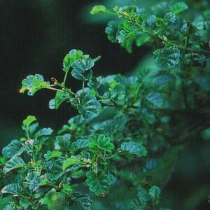 Alnus glutinosa 'Incisa' – Enyves éger