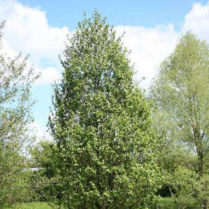 Alnus glutinosa 'Luszyn' – Enyves éger