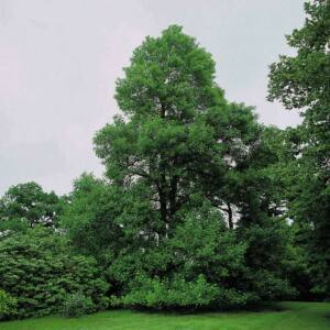 Alnus glutinosa – Enyves éger