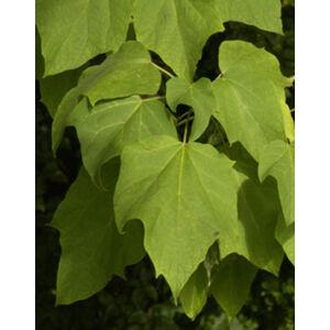 Catalpa ovata - Karéjoslevelű szivarfa
