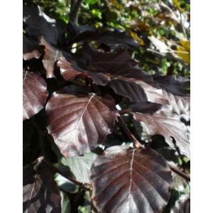 Fagus sylvatica 'Atropurpurea' – Vérbükk (extra méretű koros)