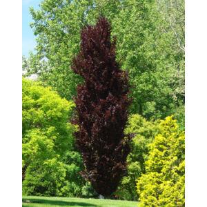 Fagus sylvatica 'Dawyck Purple' – Oszlopos vérbükk