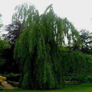 Fagus sylvatica 'Pendula' – Csüngőágú bükk