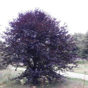 Fagus sylvatica 'Purpurea Nana' – Bükk