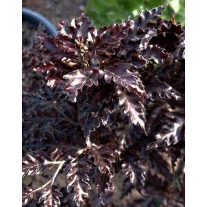 Fagus sylvatica 'Rohanii' – Bordó, tölgylevelű bükk (extra méretű koros)