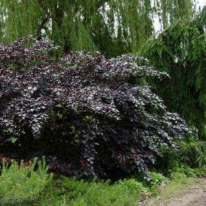 Fagus sylvatica 'Tortuosa Purpurea' – Csavartágú, bordó bükk