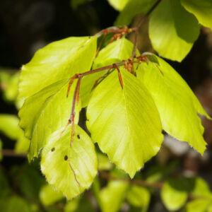 Fagus sylvatica 'Zlatia' – Sárga levelű bükk