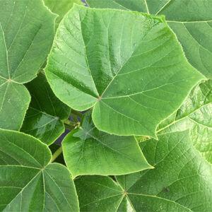 Paulownia Cotevisa2 - Fagytűrő császárfa