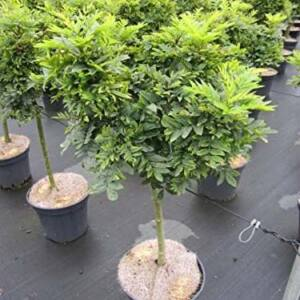 Fraxinus excelsior 'Abiona' – Magas kőris