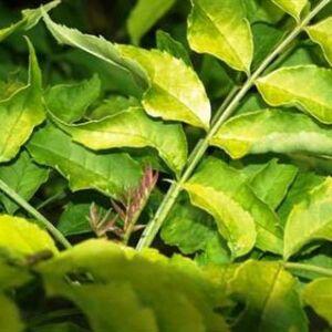 Fraxinus excelsior 'Foliis Aureis' – Magas kőris