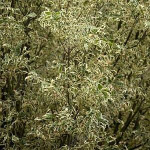 Fraxinus pennsylvanica 'Argenteomarginata' – Amerikai kőris