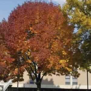 Fraxinus pennsylvanica 'Urbanite' - 'Urbanite' vörös kőris
