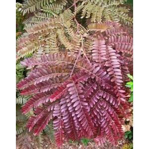 Gleditsia triacathos 'Rubylace' – Vörös levelű lepényfa