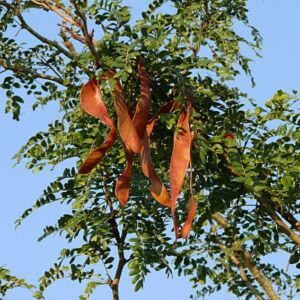 Gleditsia triacanthos – Tövises lepényfa