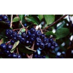 Aronia prunifolia 'Viking' – Magas törzsű berkenye