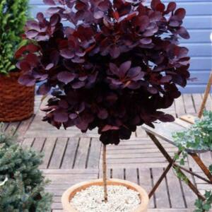 Cotinus coggygria 'Royal Purple' – Vörös, magas törzsű cserszömörce