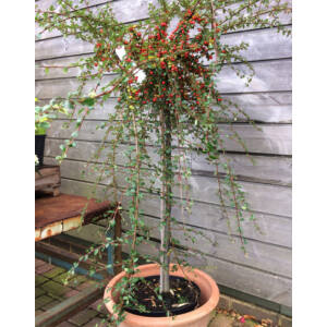 Cotoneaster dammmeri 'Coral Beauty' – Magas törzsű madárbirs