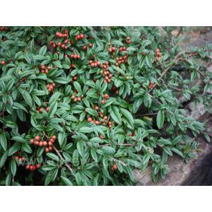 Cotoneaster salicifolius 'Parkteppich' – Magas törzsű fűzlevelű madárbirs